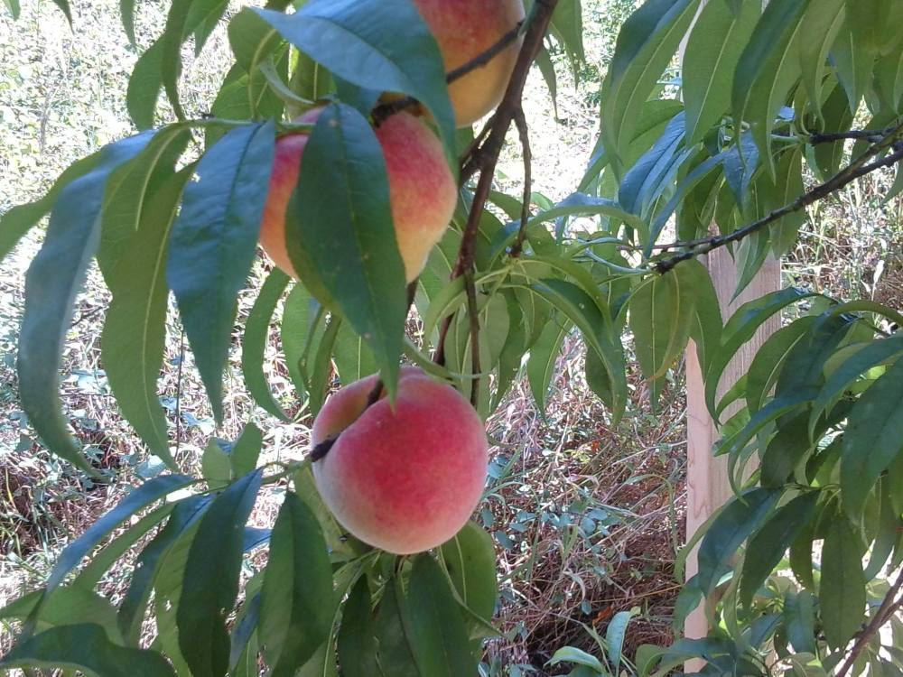 The peach tree in the corner of the garden is starting to share it's bounty...