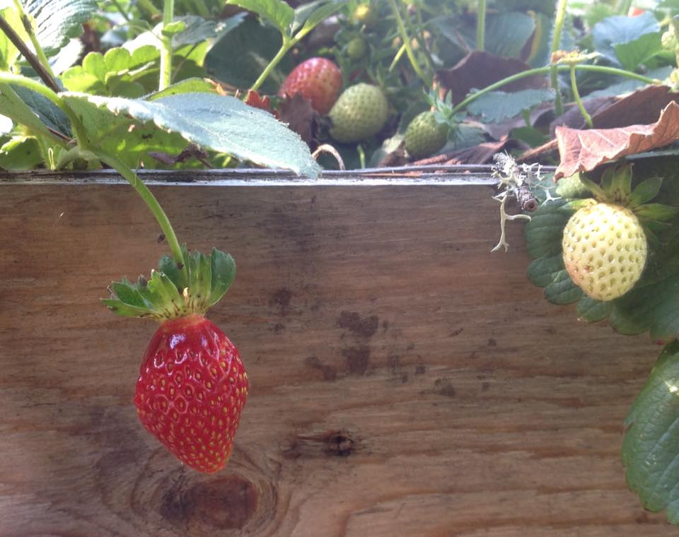 I guess our strawberries didn't get the memo...autumn is here.