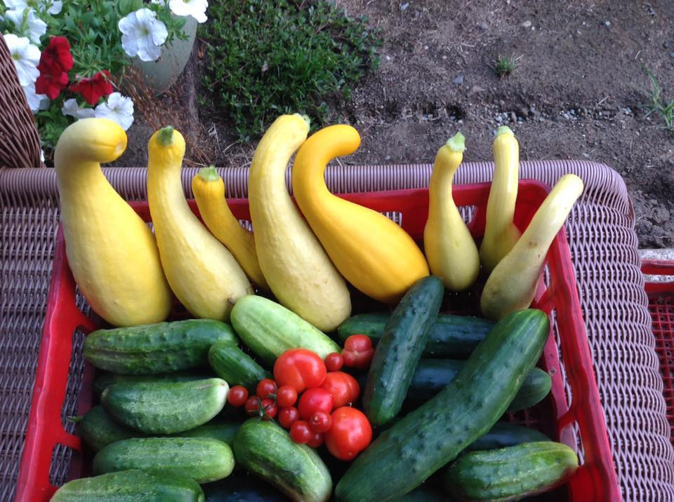There's nothing better than picking your vegetables from your very own garden...