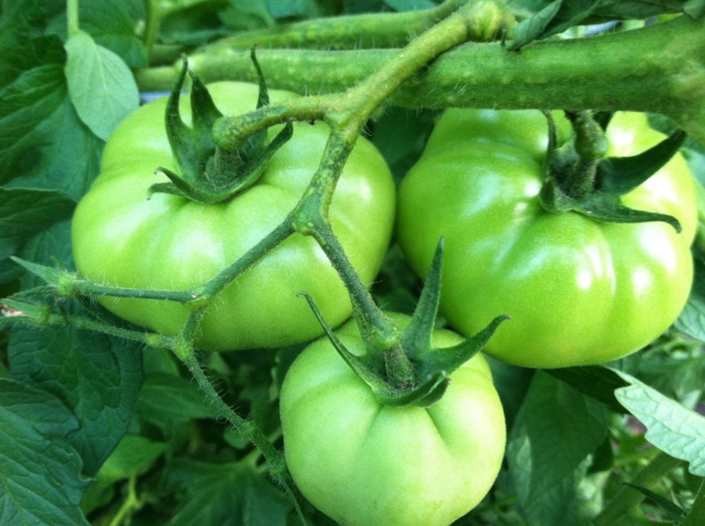 Time to make some fried green tomatoes...