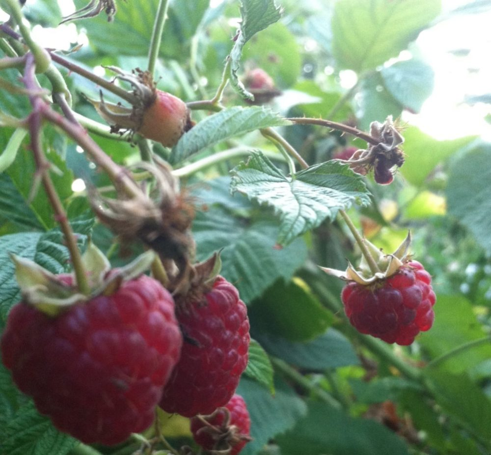 The raspberries have been growing by the bucket full in the garden.