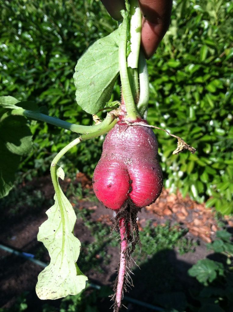 I like big beets and I don't know why...