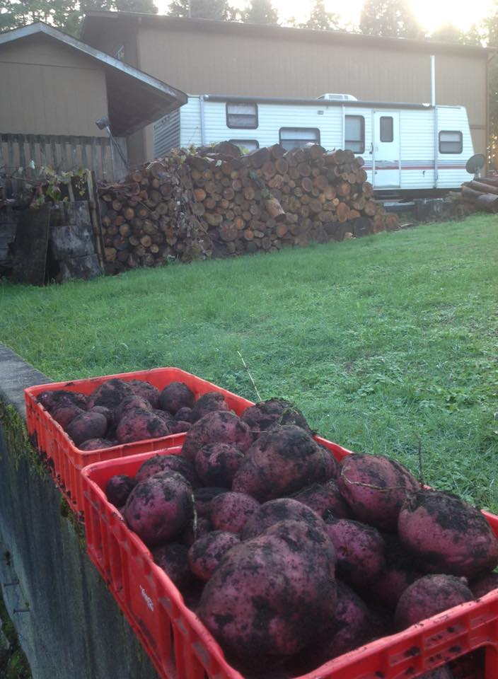 The potatoes are growing like weeds in the garden...