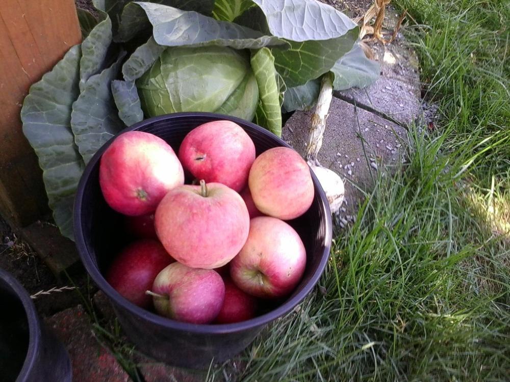 Apples & and a head of cabbage from the garden...today's harvest.