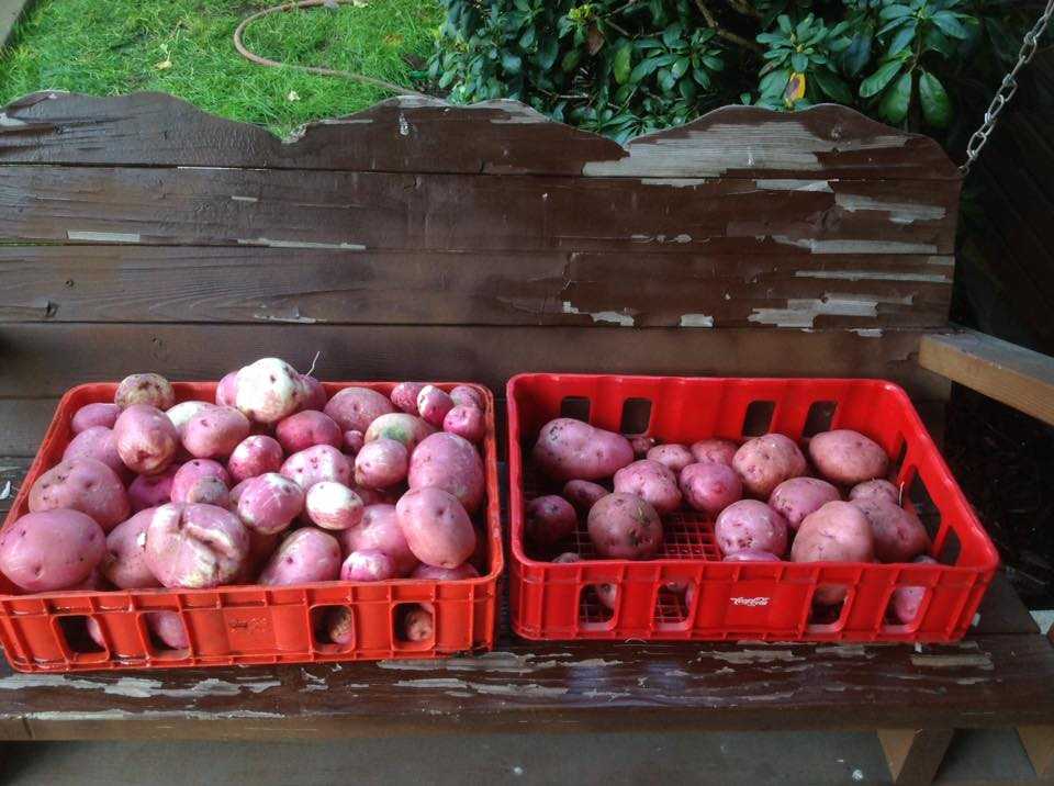 Finally finished harvesting the potatoes in the garden...here's to hoping that we got all of them!