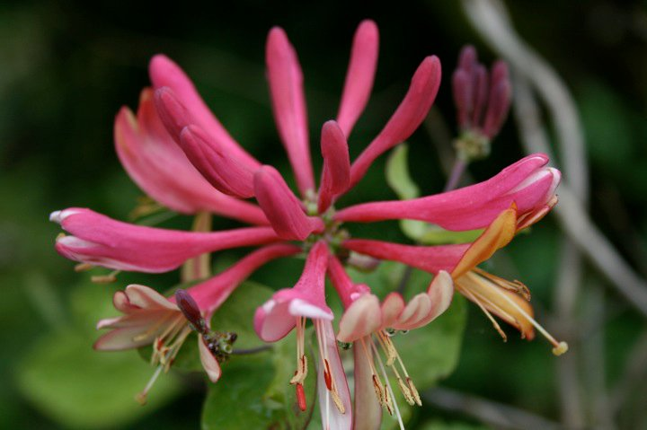 The honeysuckle flower I bought my momma for Mother's Day 09'. Most of the flowers in her garden are past Mother's Day gifts. It's my traditional gift...