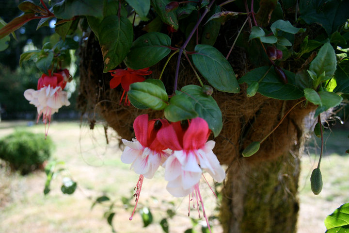One of the hanging baskets my Daddy planted...he plants his own every year and has for years.