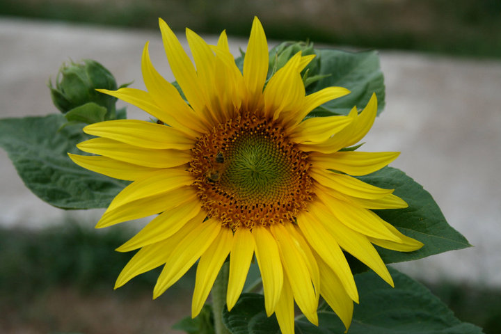Somehow these appear in my parents yard every year...thanks to the birds that eat the sunflower seeds in the feeders hung in several trees around the yard we get lil' surprises once everything decides to bloom. By the way, did you see the bee?