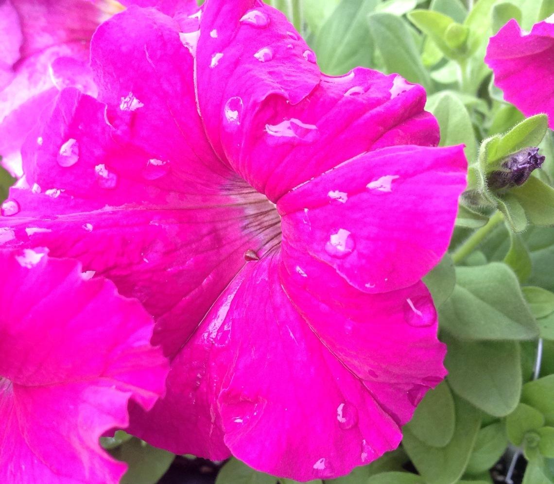 ~Neon Rose - Petunias~