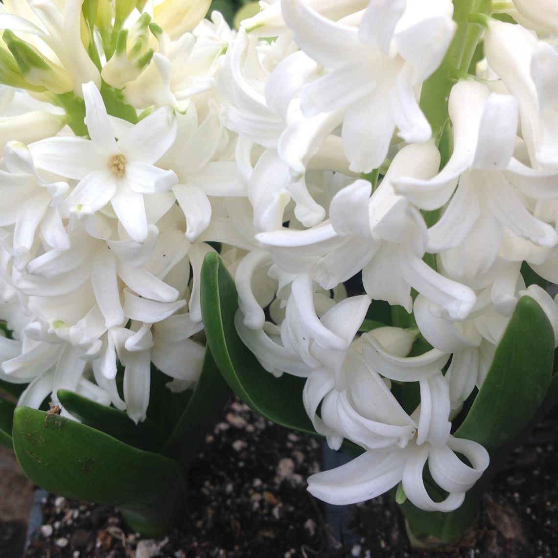 ~White Hyacinths~