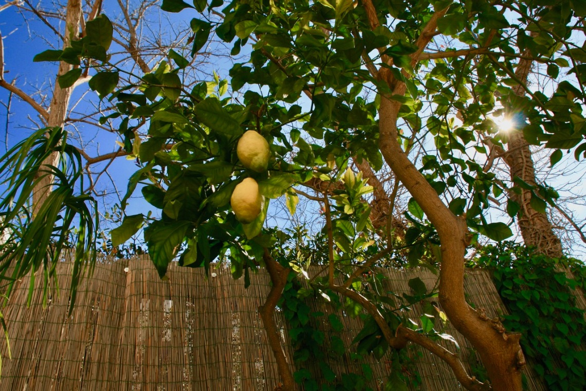 A lone lemon tree located in the garden.